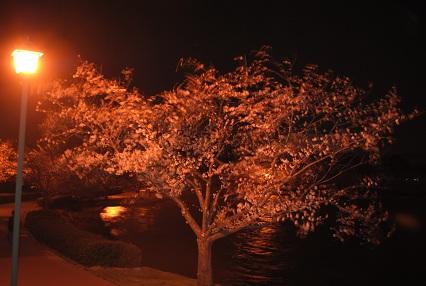 120402桜12