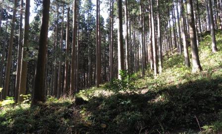 太白山杉林