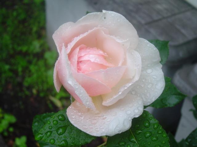 香りただよう雨のバラ