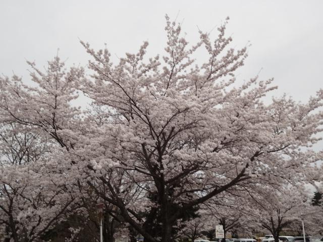 韮崎福祉村に咲く桜