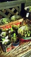 缶詰野菜の若芽