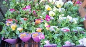 よく咲くスミレと虹色スミレ