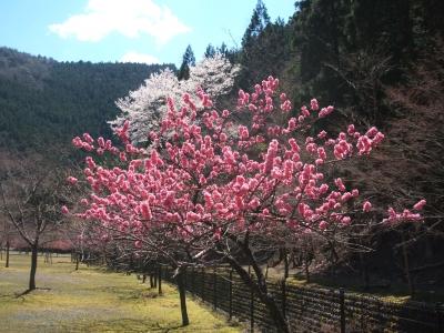 花モモと桜