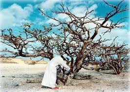 フランキンセンス樹