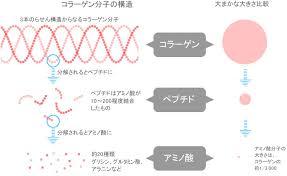 コラーゲン、アミノ酸