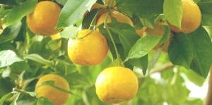 オーガニックオレンジ