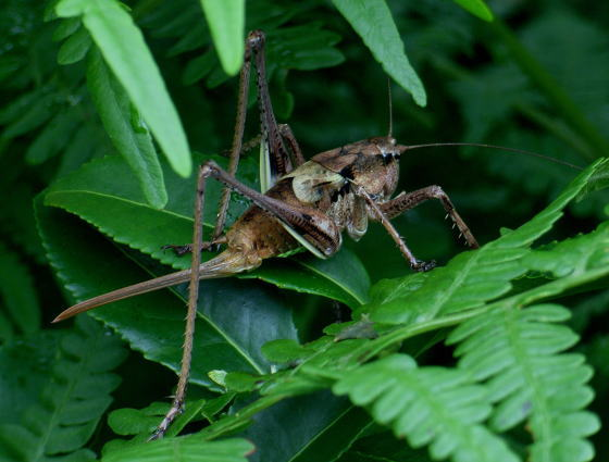 Paratlanticus tsushimensis Yamasaki