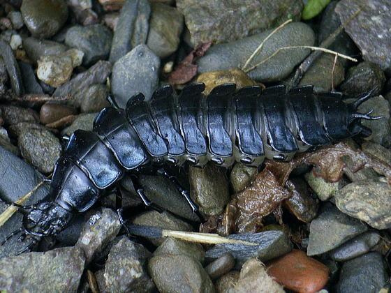 ツシマカブリモドキの幼虫