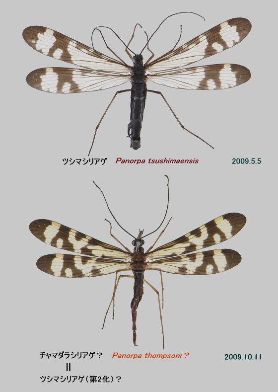 ツシマシリアゲの標本