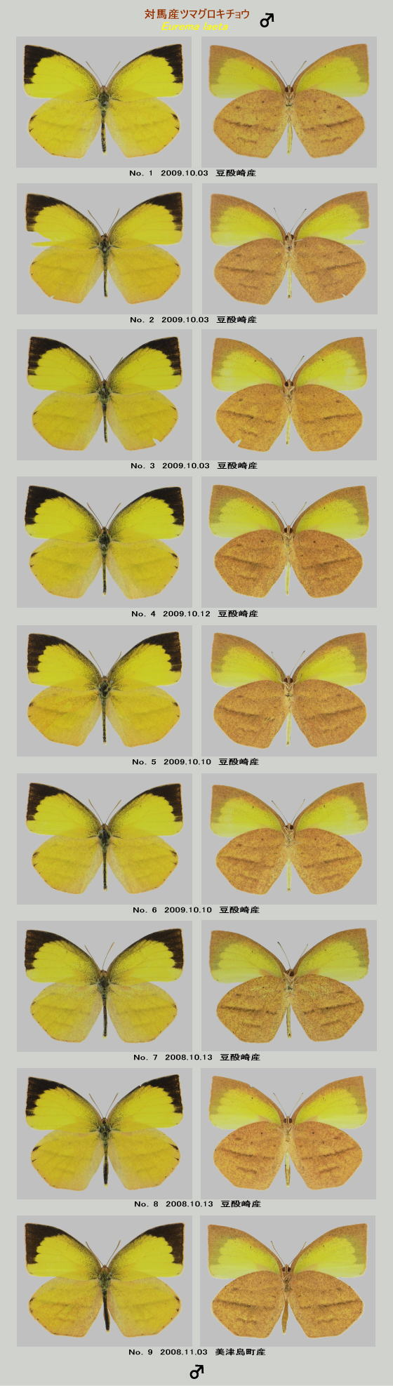 ツマグロキチョウの標本♂