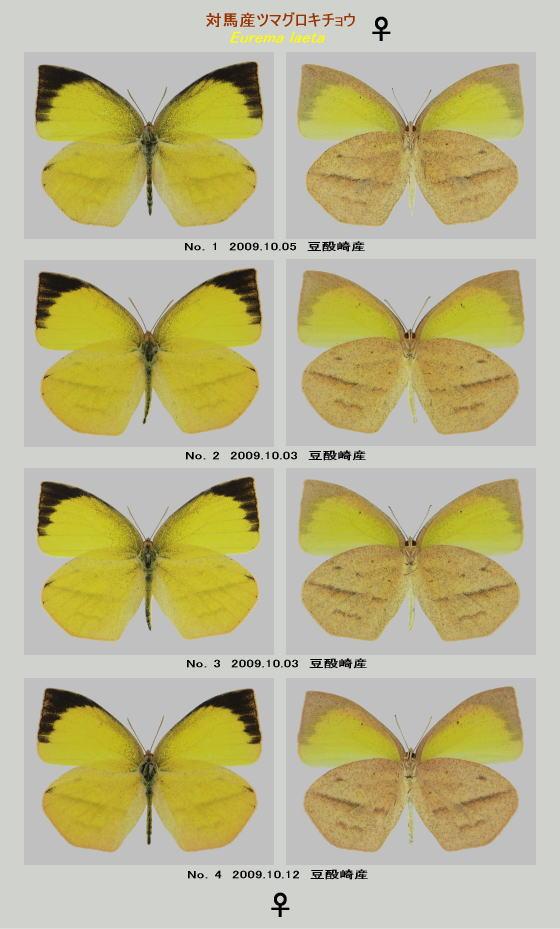 ツマグロキチョウの標本♀