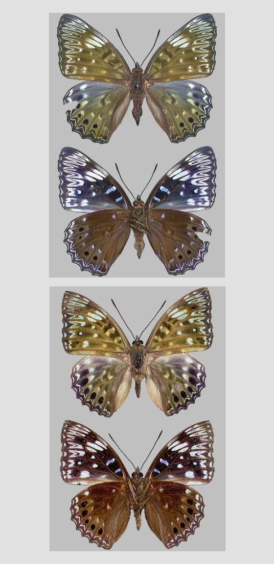 スミナガシの標本