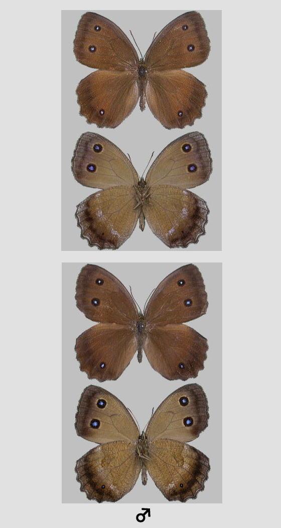 ジャノメチョウの標本