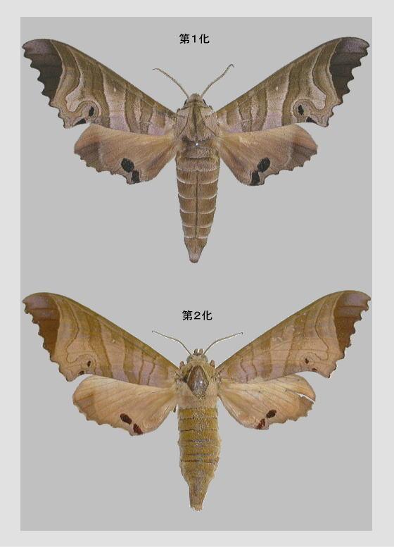 タイワンクチバスズメの標本