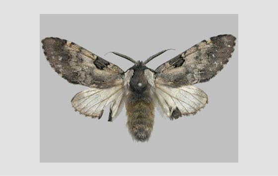 ツシマクロモンシャチホコの標本