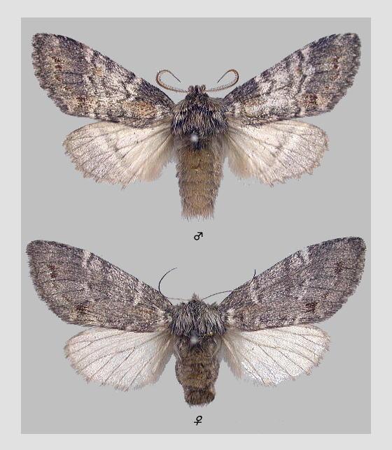 トビネシャチホコの標本