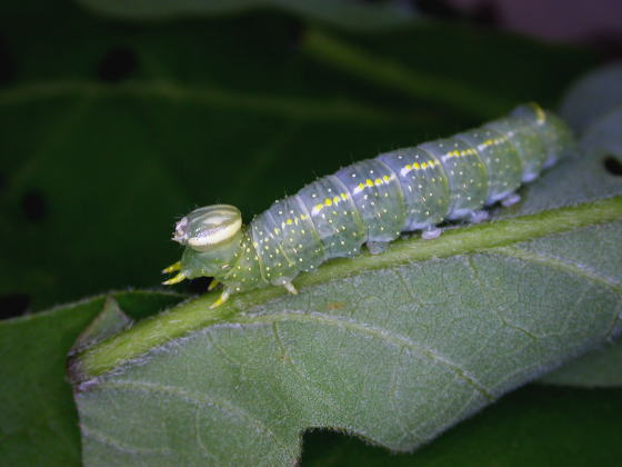 トビネシャチホコの幼虫