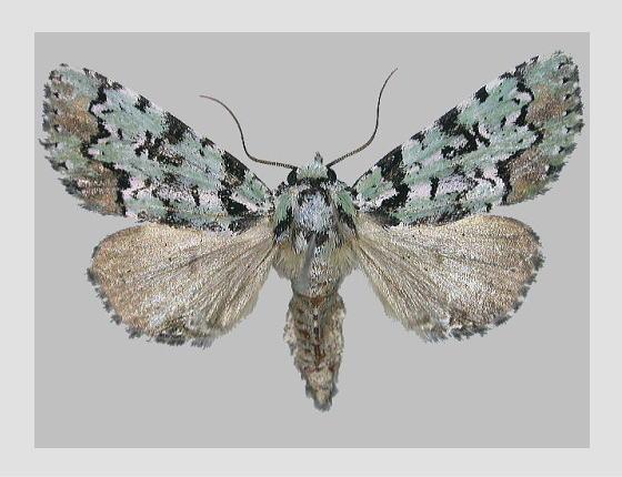 ツシマゴマケンモンの標本