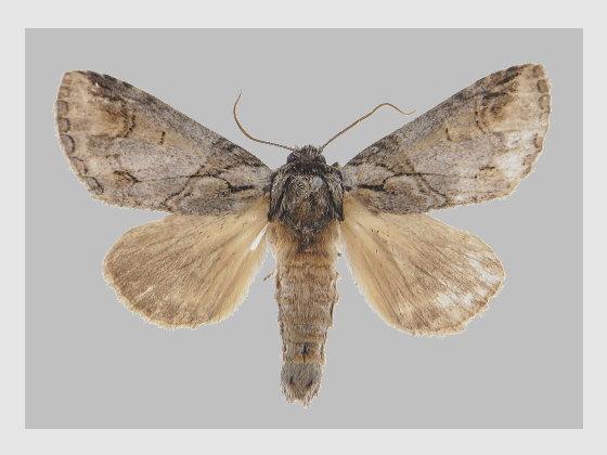 Neodrymonia coreana Matsumura, 1922