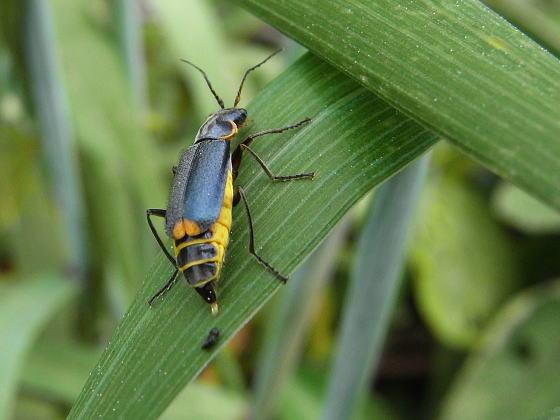Malachius prolongatus