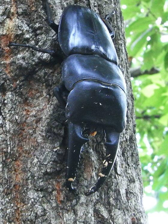 対馬亜種Dorcus titanus castanicolor