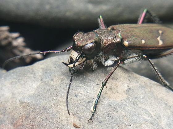 対馬産アイヌハンミョウ♂の上唇