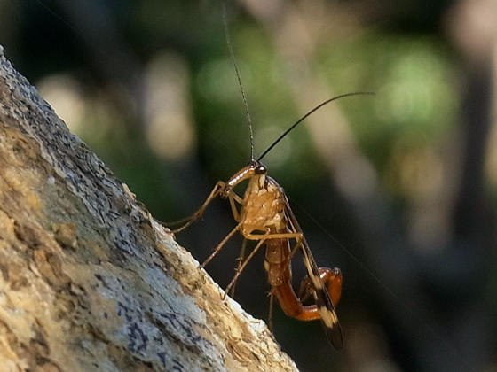 Panorpa thompsoni