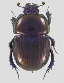 Phelotrupes laevistriatus