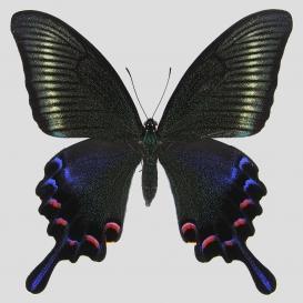 ミヤマカラスアゲハ