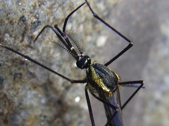 Toxorhinchites (Toxorhinchites) towadensis