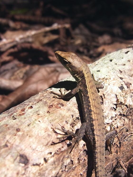 アムールカナヘビ