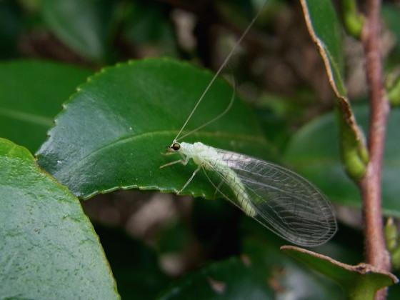 クサカゲロウの一種