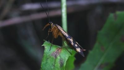 チャマダラシリアゲ