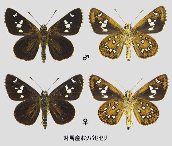 ホソバセセリ 標本画像