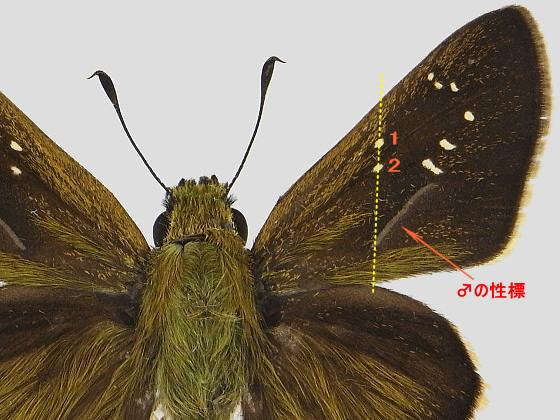 チャバネセセリ 標本画像