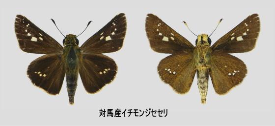 イチモンジセセリ 標本画像