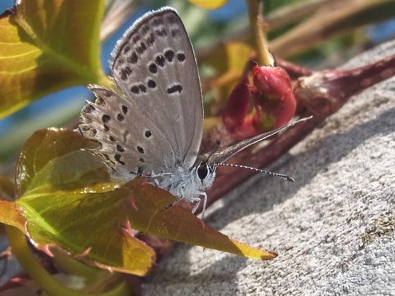 Tongeia fischeri