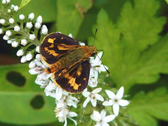 Potanthus flavus