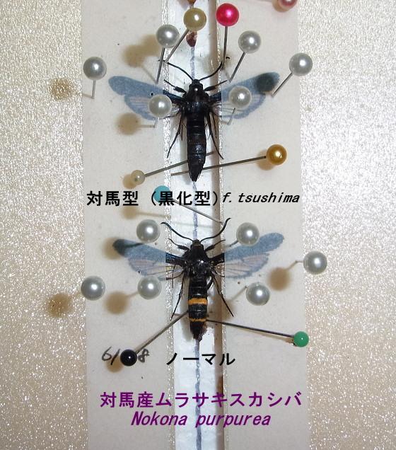 ムラサキスカシバ対馬型f.tsushima