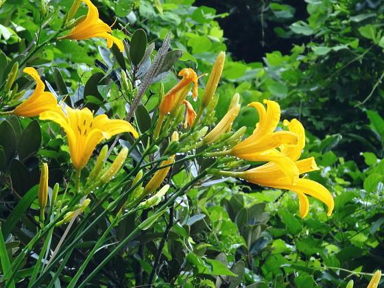 Hemerocallis hakuunensis