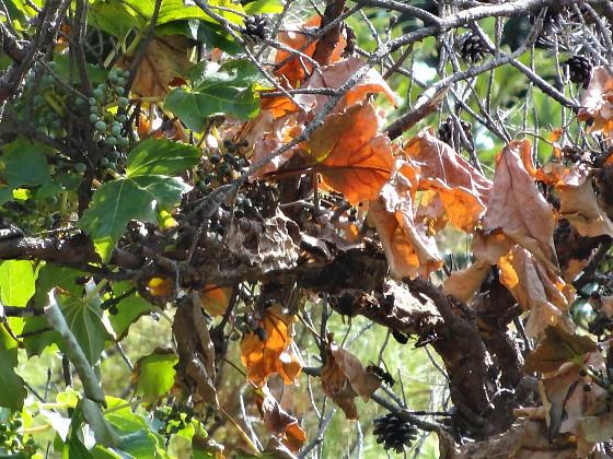 マアカスズメバチの巣 犬ケ浦