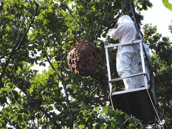 ツマアカスズメバチの巣の回収(駆除)