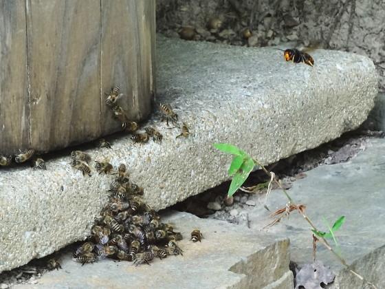 ニホンミツバチの蜂球で熱死させられるツマアカスズメバチ