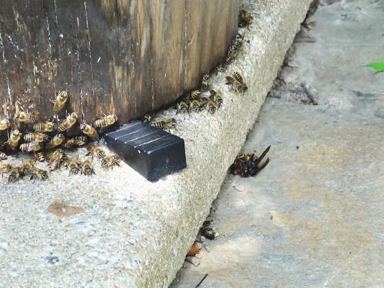 蜂球で熱死したツマアカスズメバチ