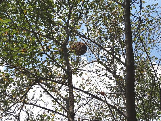 ツマアカスズメバチの巣「上対馬町琴」