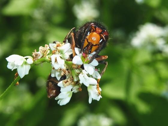 訪花・吸蜜するツマアカスズメバチ