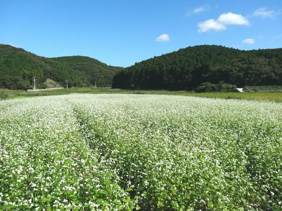 ツマアカスズメバチが集まっていたソバ畑