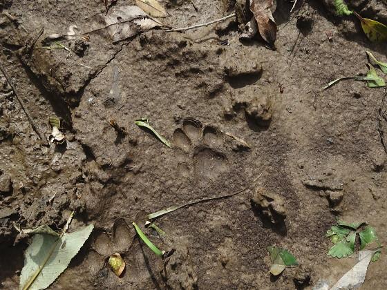 ツシマヤマネコの足跡
