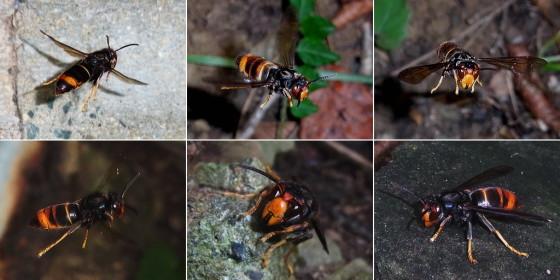 対馬のツマアカスズメバチ
