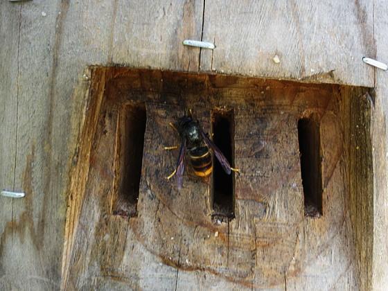 蜂洞への侵入を伺う越冬女王